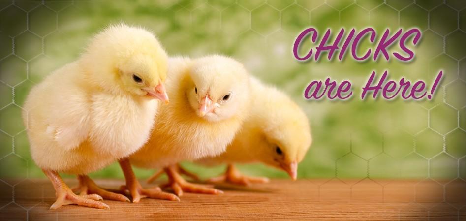 chick days 2016