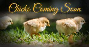 chick days chicks